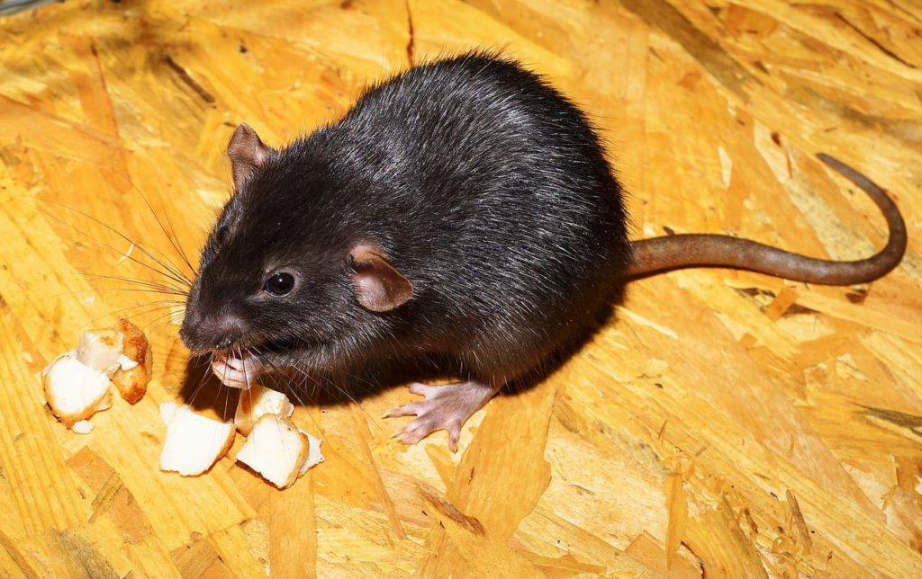 rat removal in atlanta