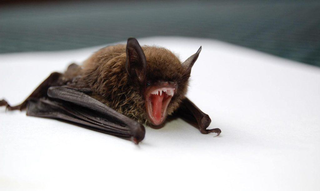 Bats in Georgia